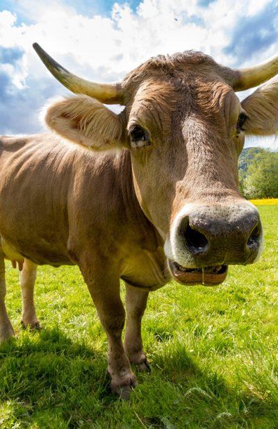 cow-pasture-animal-almabtrieb